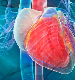 Сердце может восстанавливаться